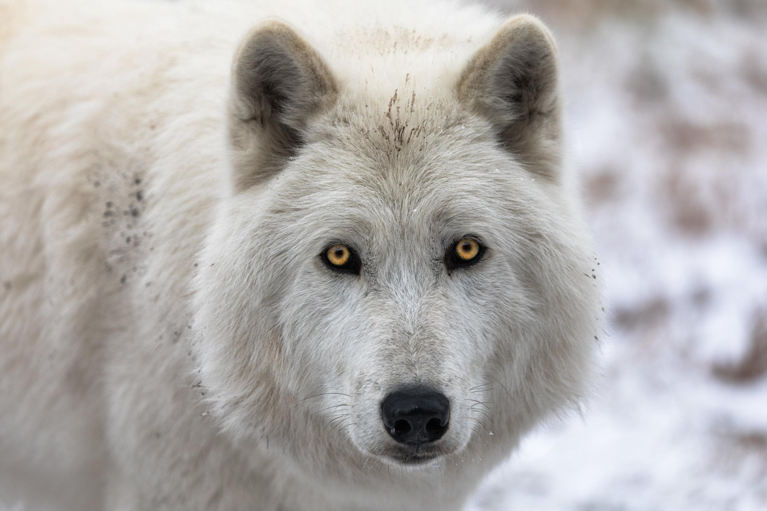 Wolf-Sanctuary-6970.jpg