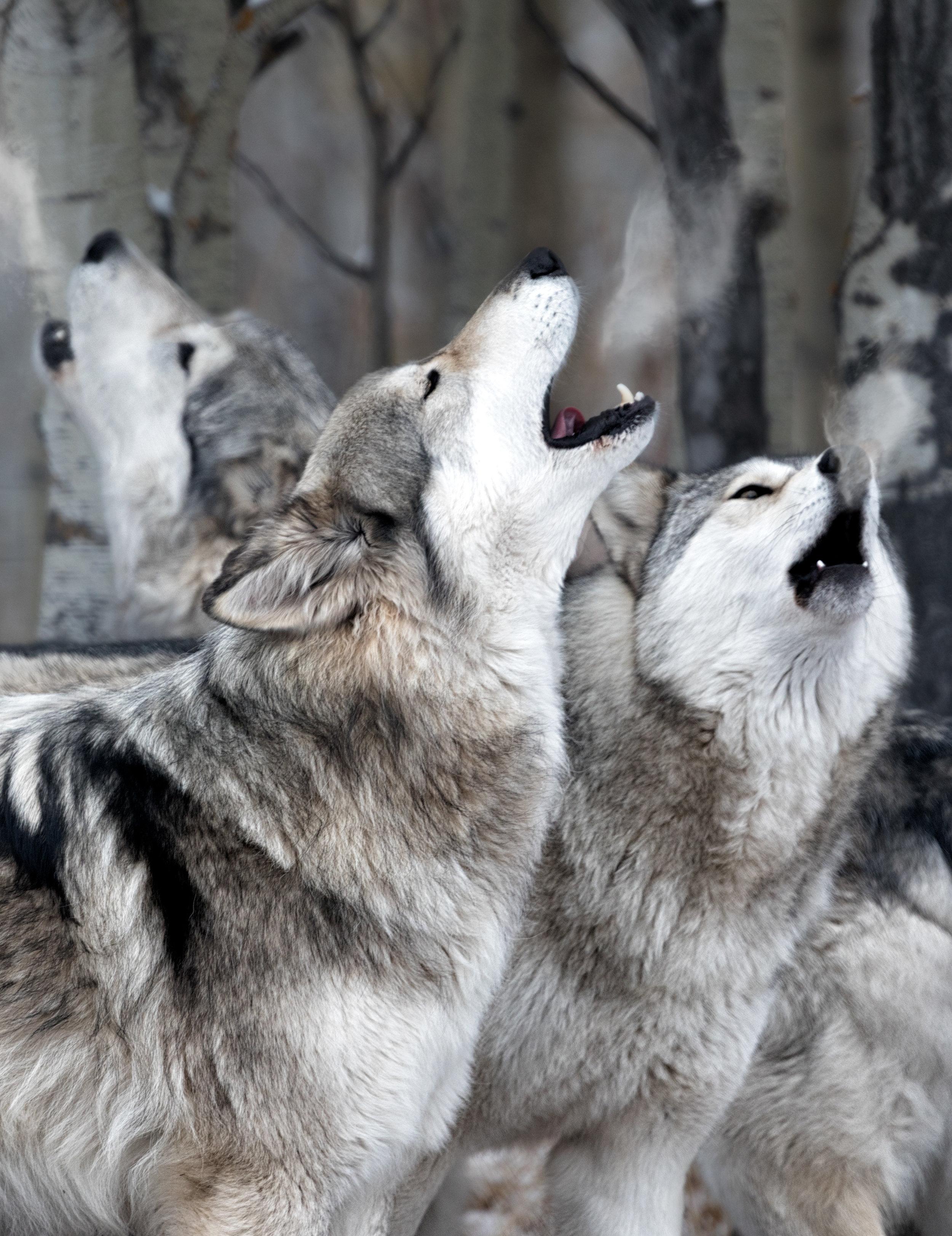 Wolf-Sanctuary-7523-vertinsta.jpg