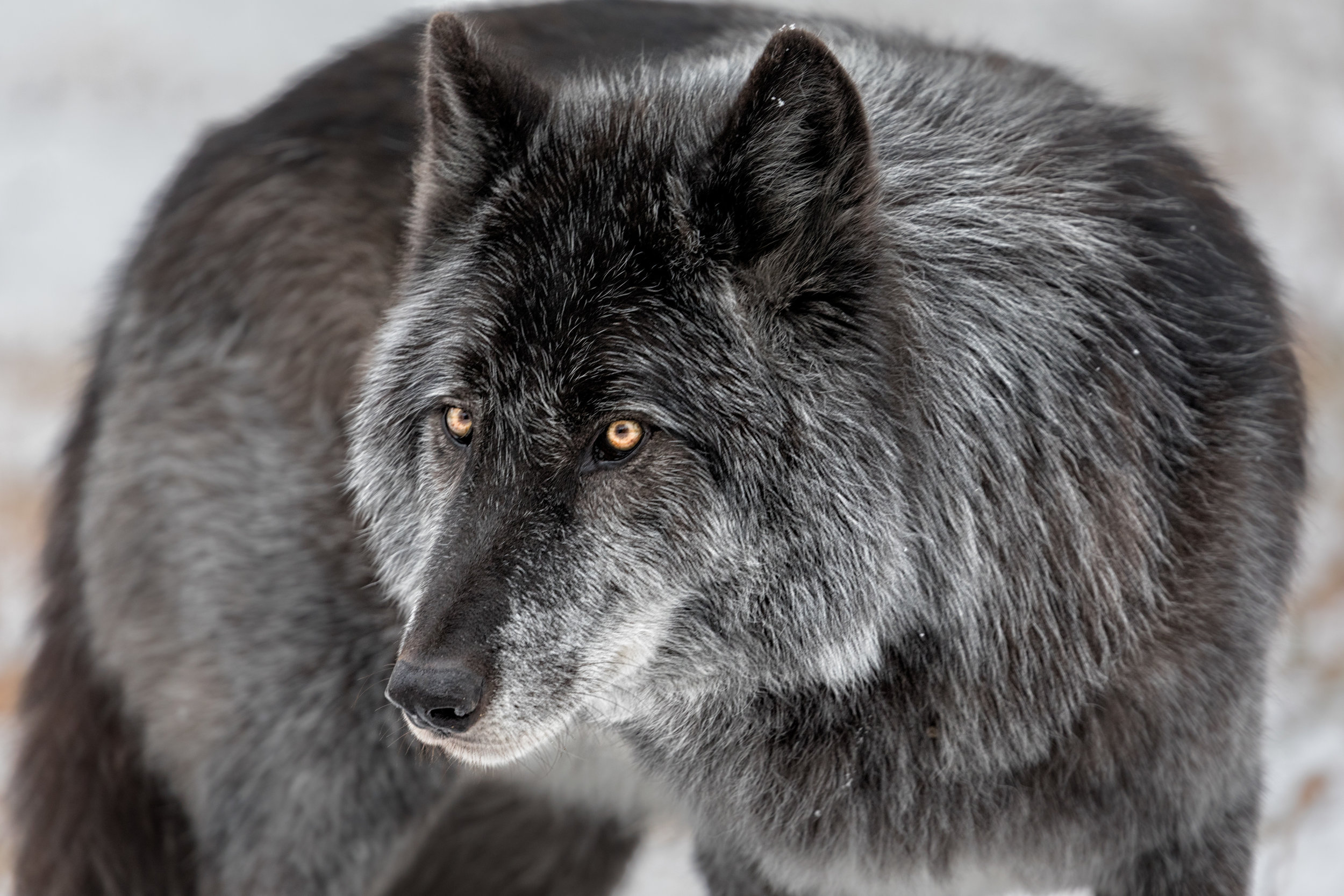 Wolf-Sanctuary-7355.jpg