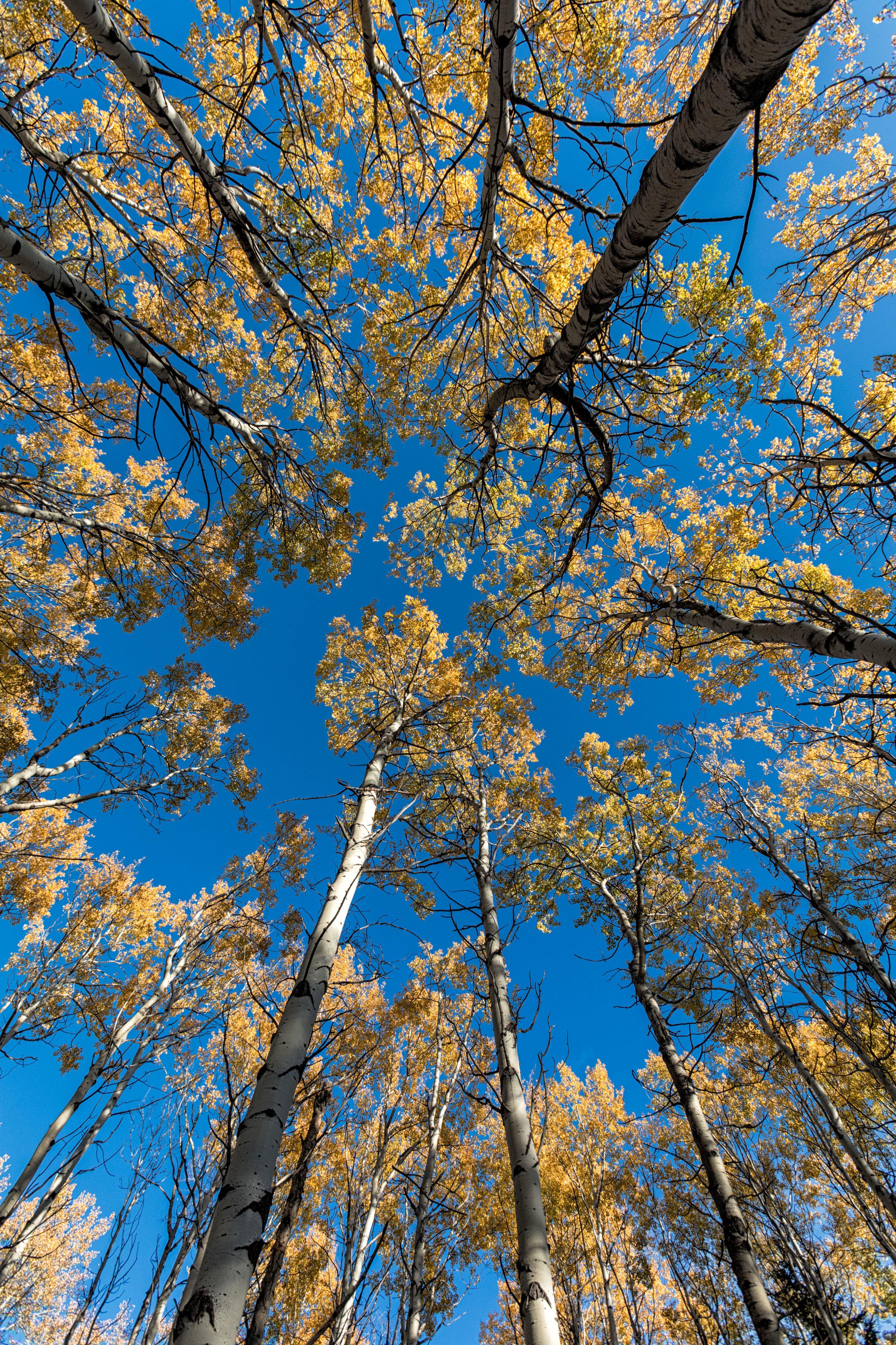 Golden-Trees-5708.jpg