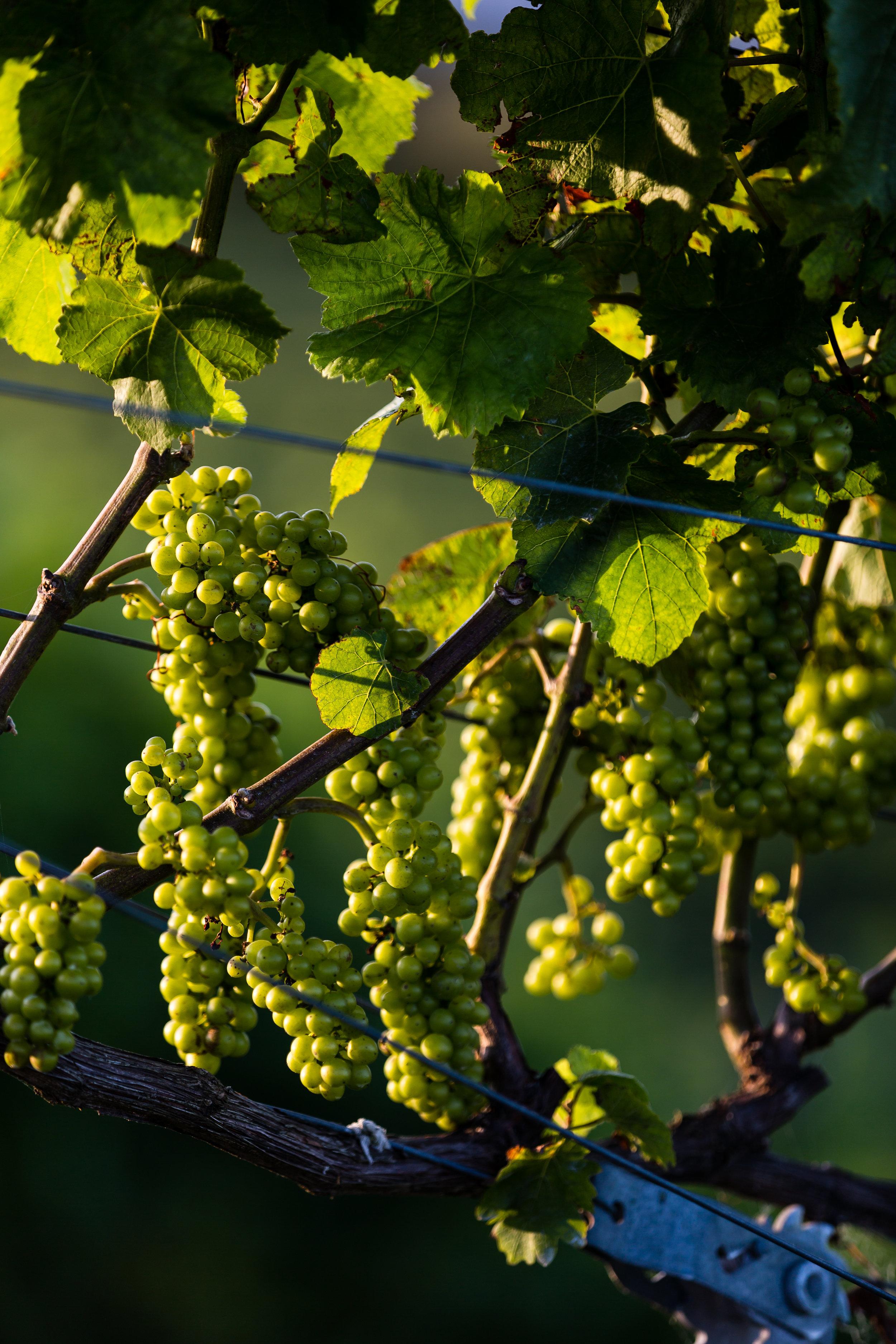 Grapes in the Paritua vineyard