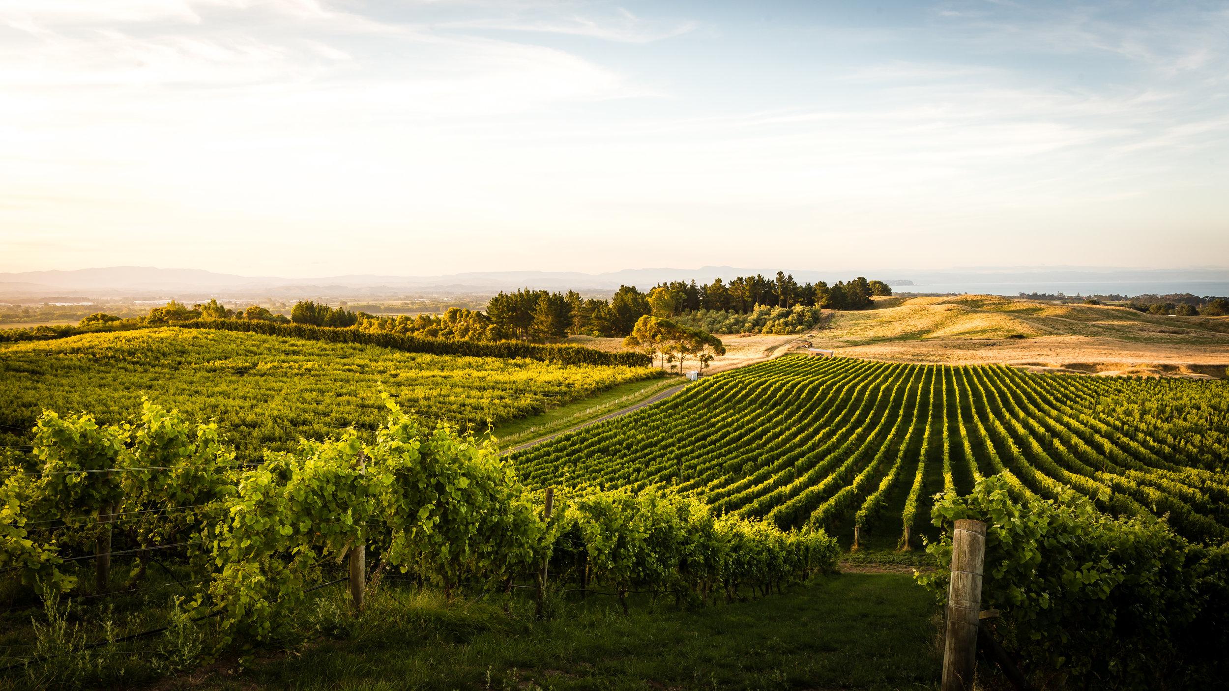 Golden hour over the vines