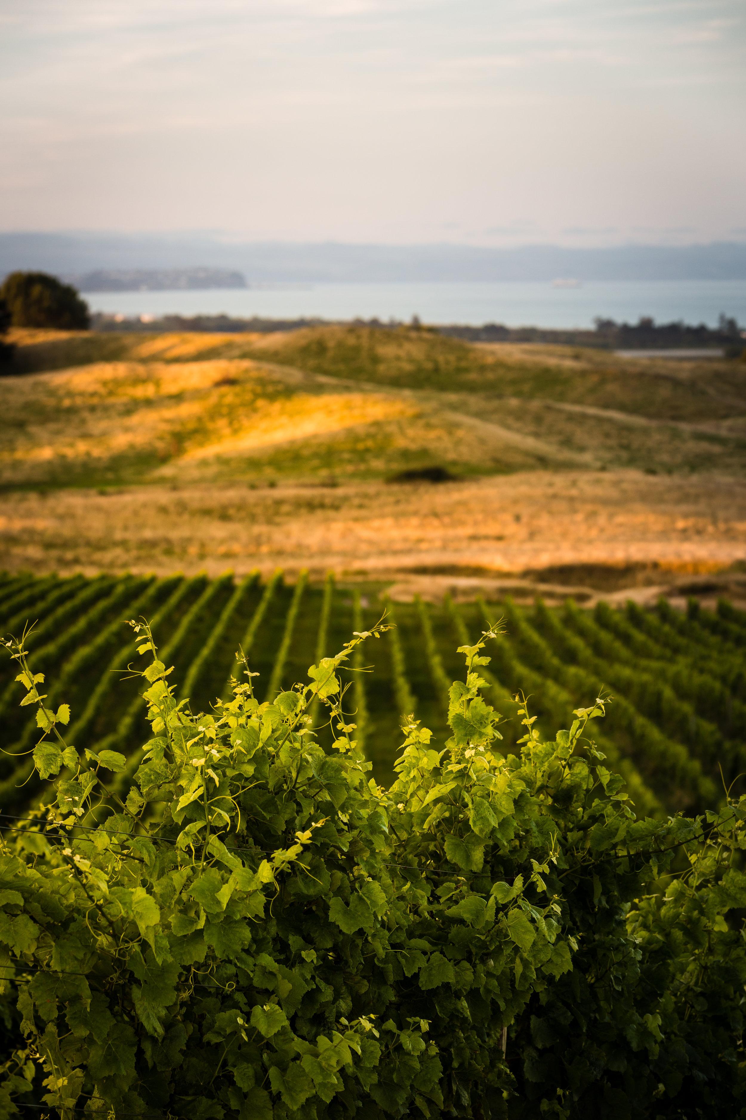 Millar Road vines overlooking Hawke Bay
