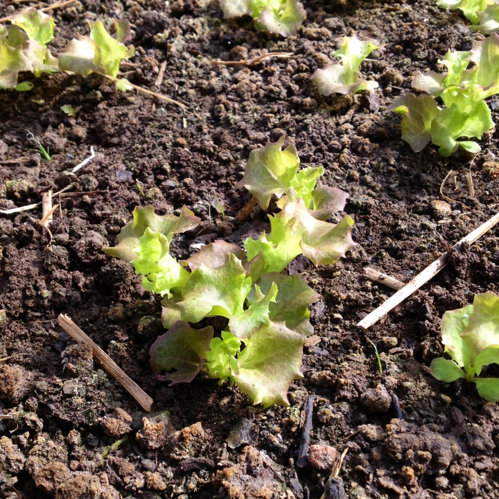 LETTUCE    It's still real hot for lettuce but we have some Lolla Rosa coming along slowly