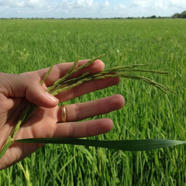 Rice is starting to head out. #rice #louisianarice #ricefarming #louisianariceproducer