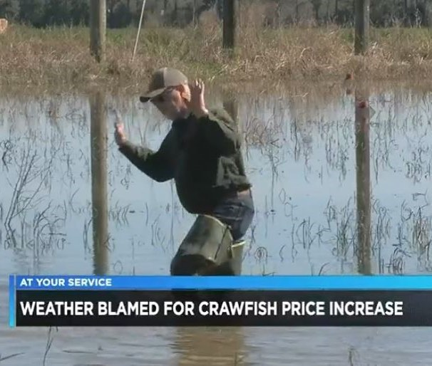 Watch Burt's recent news segment with @kplctv7 where he explains how the weather recently has had a lot to do with the increased crawfish prices. http://www.tallgrassfarm.net/happenings/2019/3/8/weather-to-blame-for-crawfish-price-increase