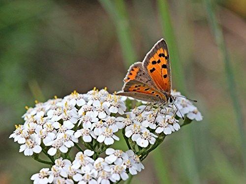 BUTTERFLIES - A butterfly drinking nectar from our California native plant: Achillea millefolium.