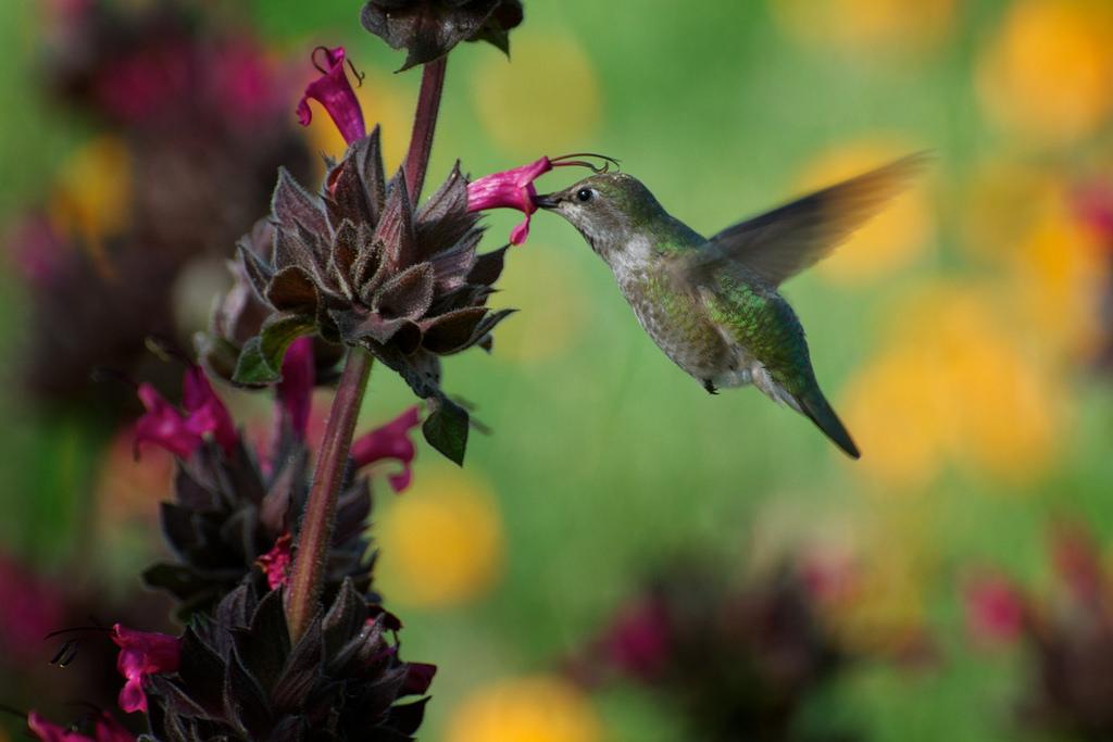 BIRDS - Humming bird drinking nectar from the California native Salvia spathacea plant.