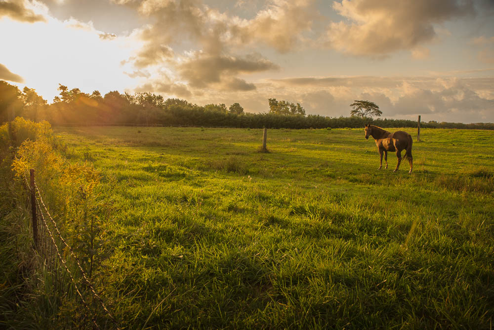 Grazing Horse Looks Back at Me at Sunrise