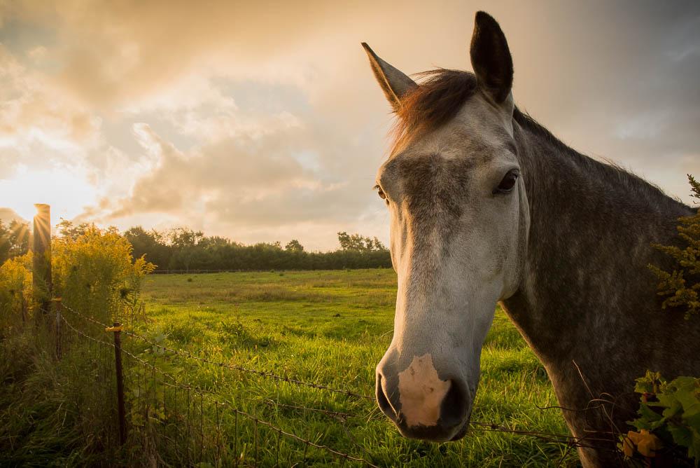 Another Horse Portrait at Sunrise