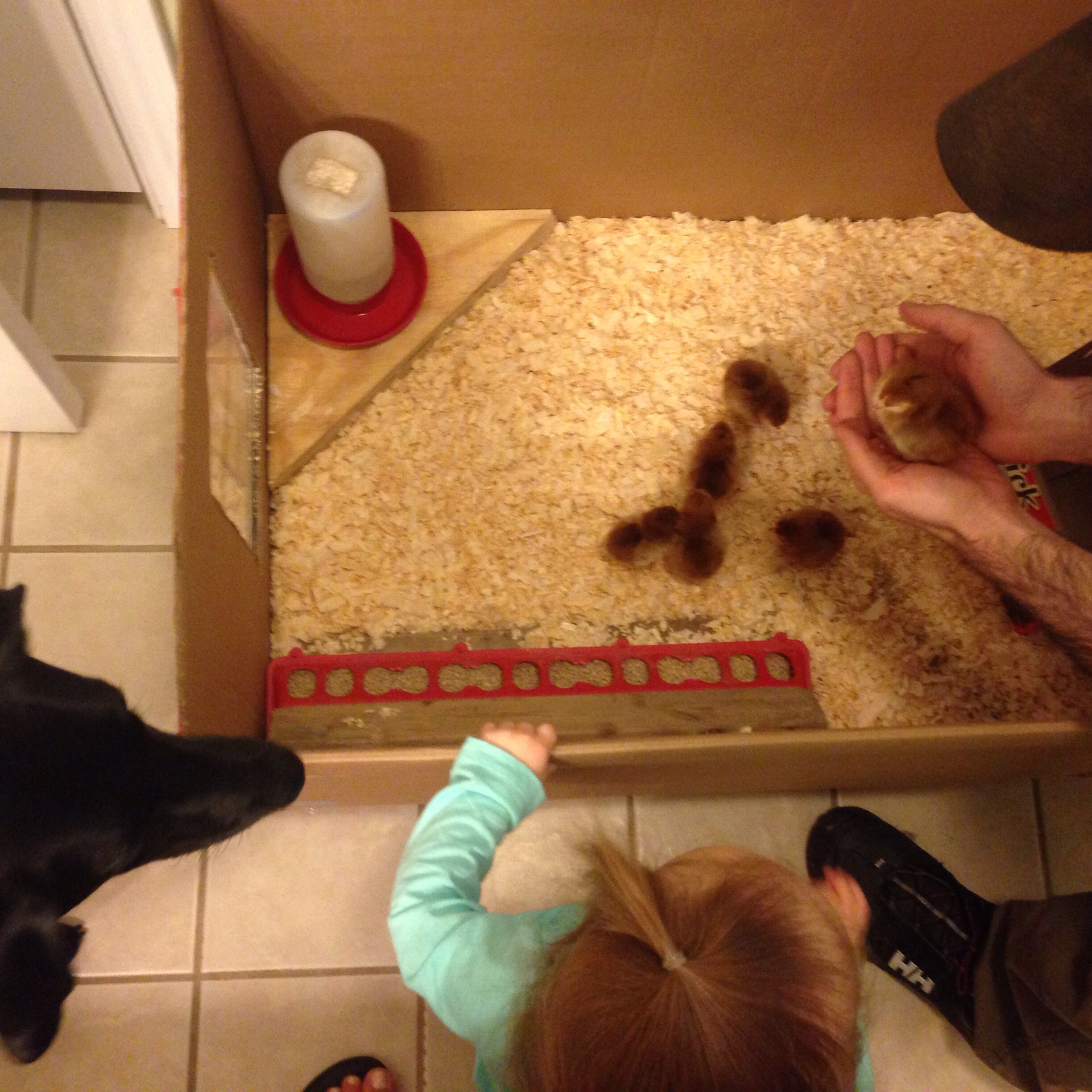 Introducing the new baby chicks to our toddler and dog