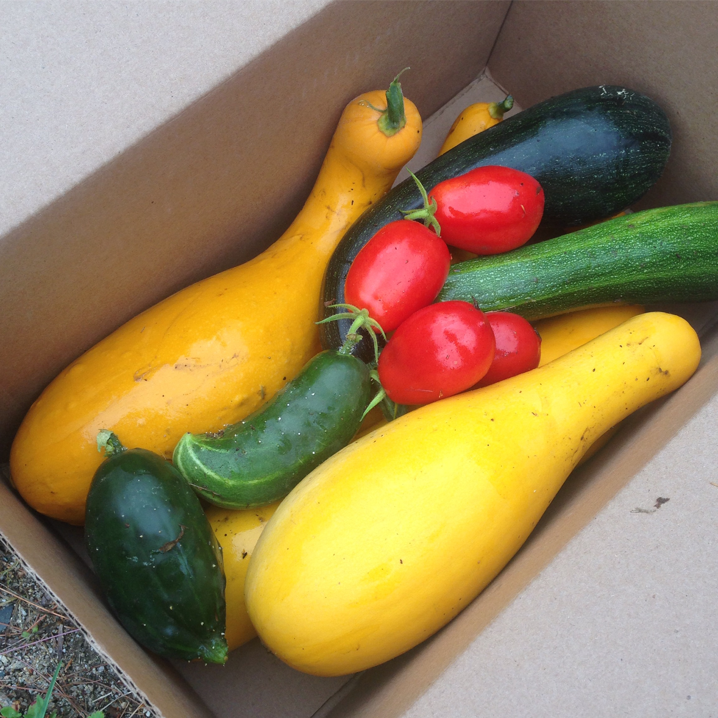 Homegrown veggies to be donated to the local food pantry.