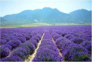 What are essential oils and why  I only use oils from Young Living?