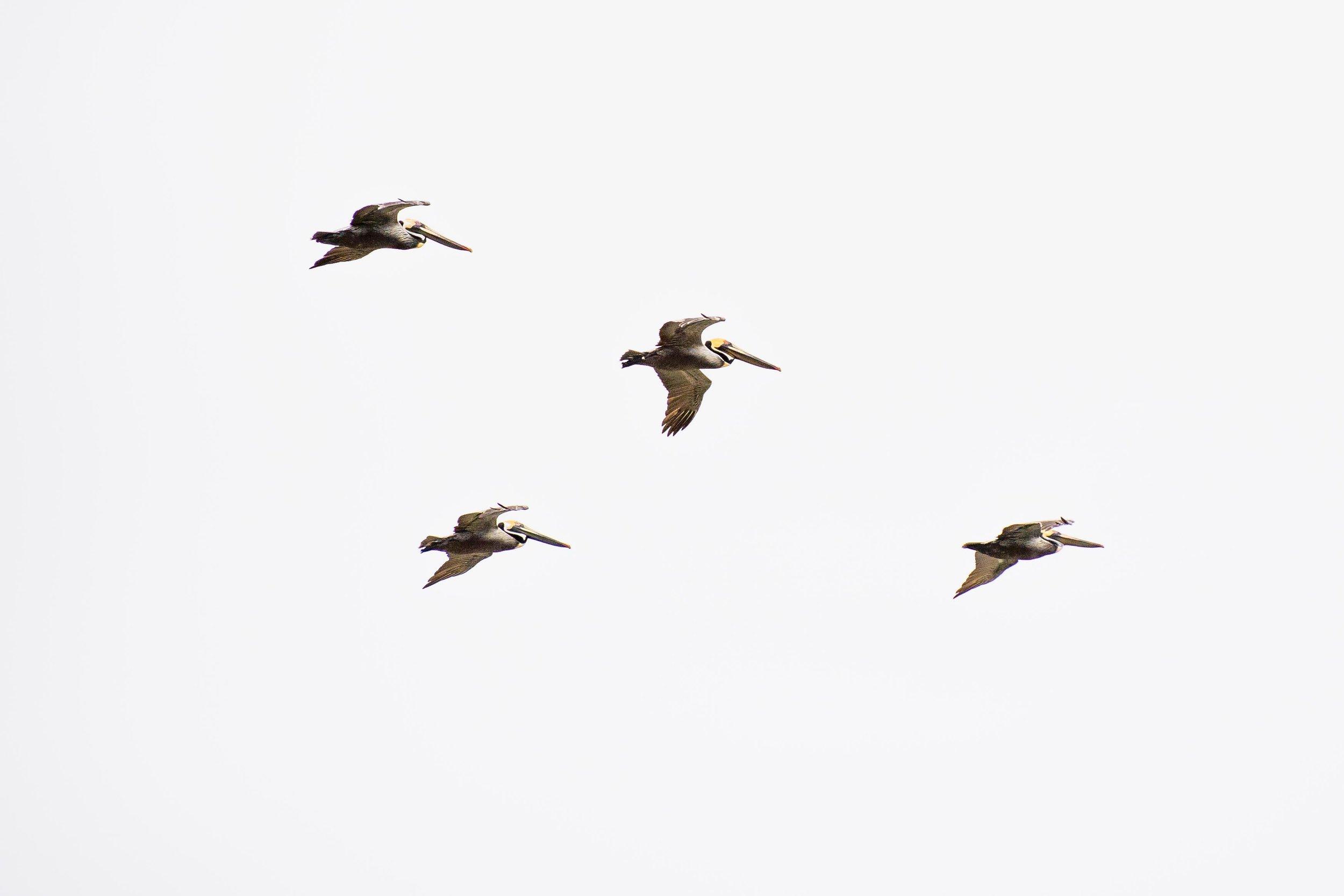 Pelicans in flight.