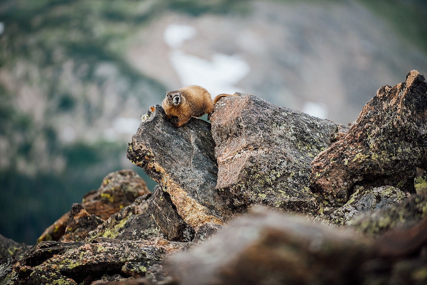 This couple ran into a marmot when they were hiking into the tundra of Rocky Mountain National park for their elopement. Photo by Maddie Mae Photography.