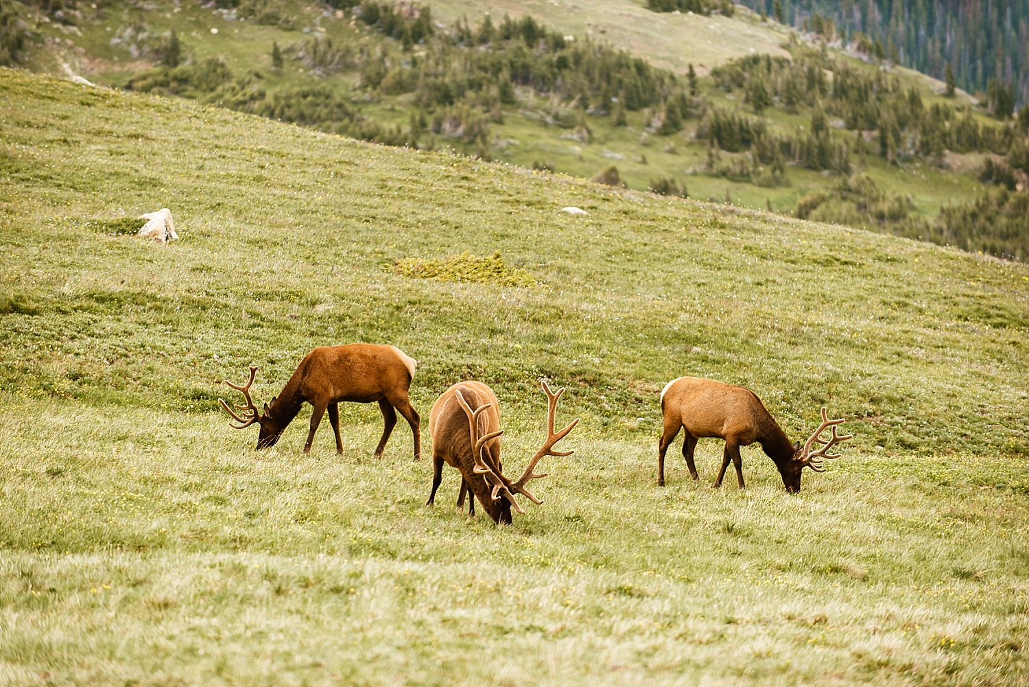 Seeing a herd of elk on your wedding day has to be good luck, right? So happy for Jessica and Edward! | Elk elopement photos by mountain wedding photographer, Maddie Mae.