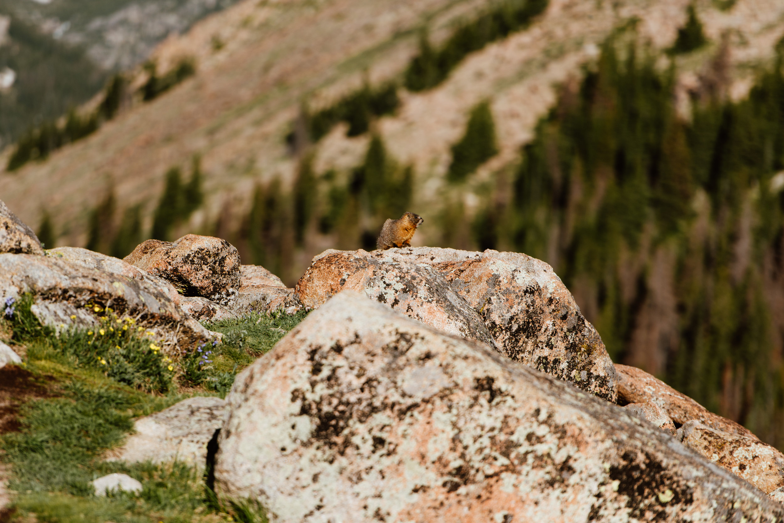 This little marmot was one of the only ones to see Erin and Graham's beautiful mountaintop first look during their intimate elopement in Rocky Mountain National Park! | Rocky Moutnain elopement photos by Colorado adventure wedding photographer, Maddie Mae.