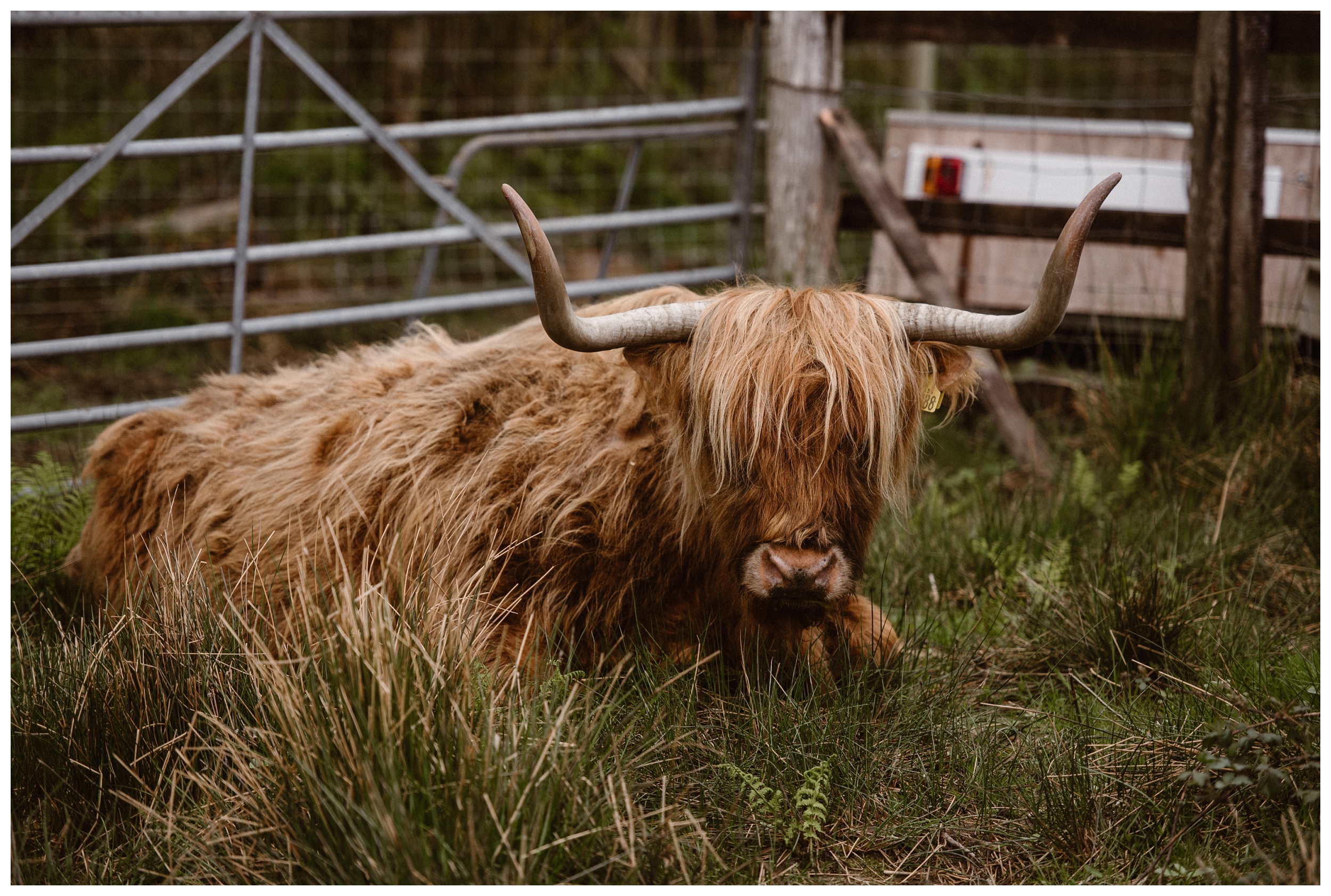 A Scottish Highland cow hangs out outside Kilchurn castle in the Scottish Highlands. Photo by Maddie Mae, Adventure Instead.