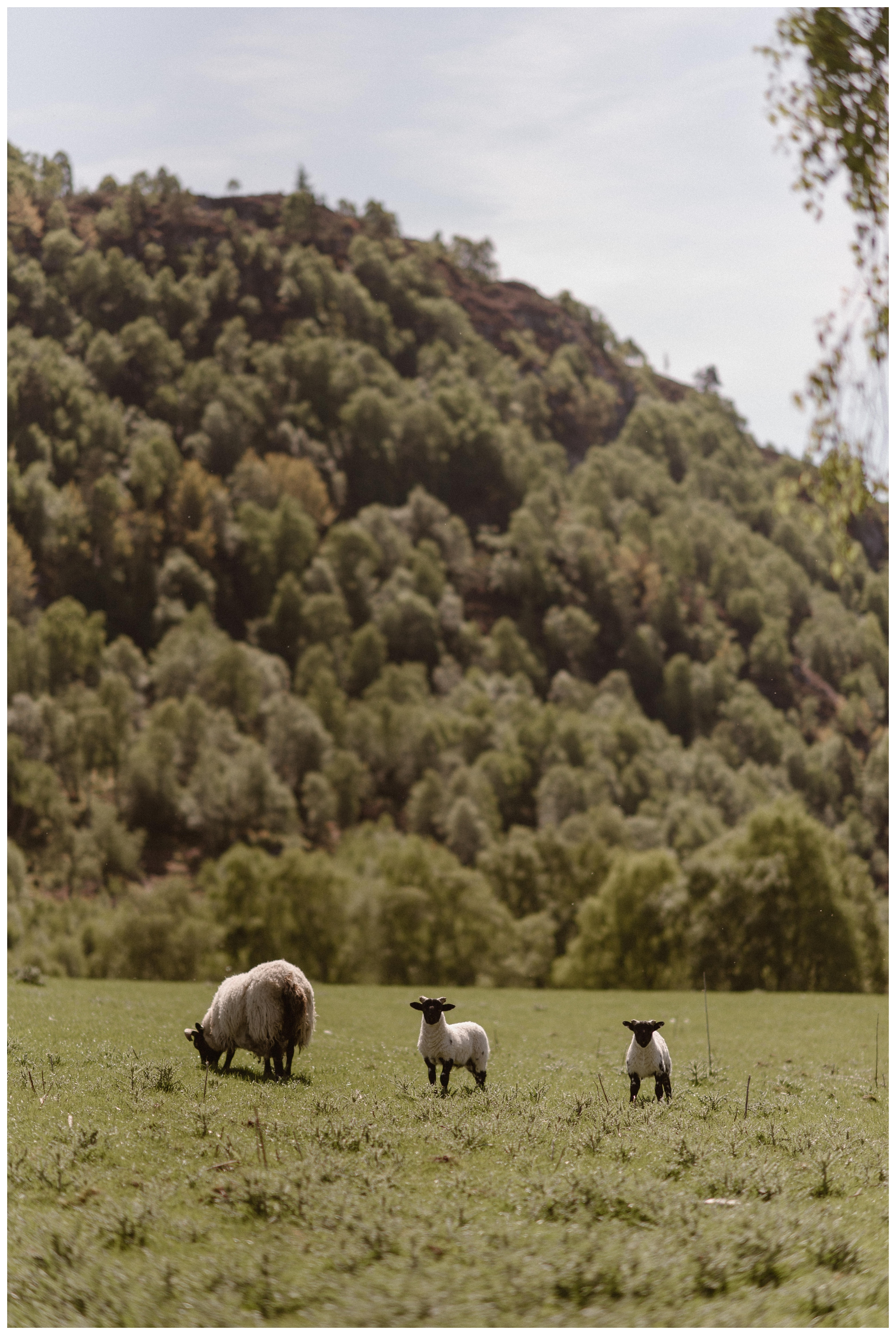 Sheep watched as we explored the Scottish Highlands around Loch Ness during Elissa and Daniel's day after photo session following their elopement in Glencoe, Scotland. Photo by Maddie Mae, Adventure Instead.