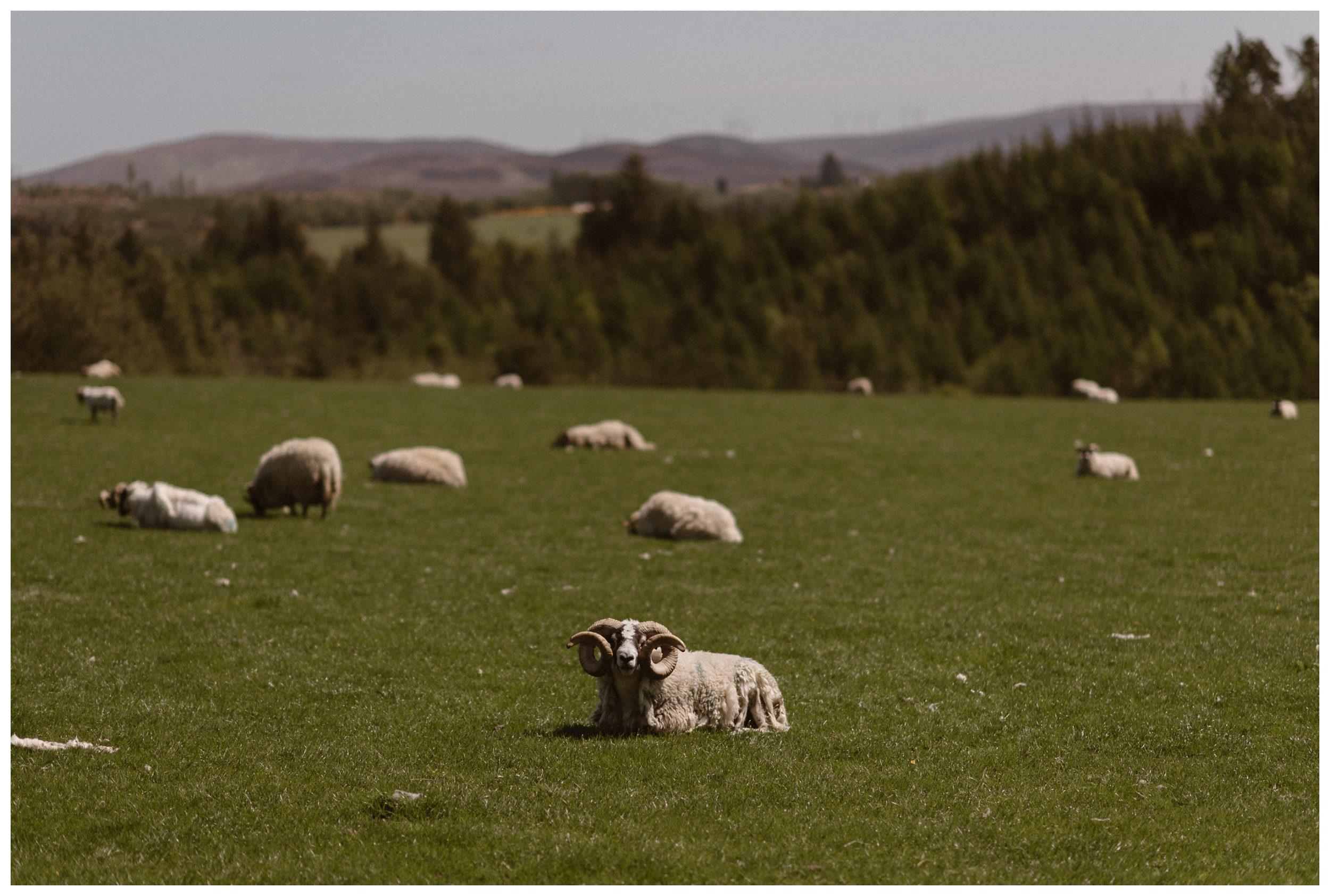 The fields around Loch Ness in the Scottish Highlands are full of sheep. Photo by Maddie Mae, Adventure Instead.