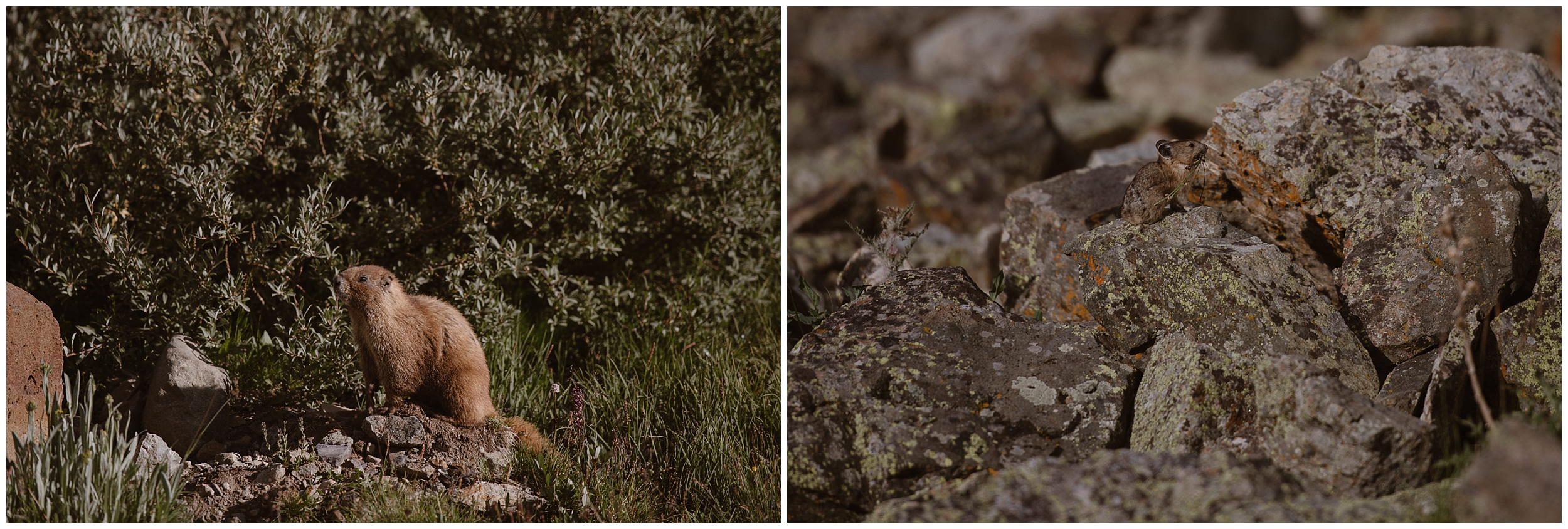 In these side-by-side elopement photos, two small, furry creatures are shown close-up. These little rodents were adorable additions to Katie and Logan's off road, 4x4 wedding, which was one of the best elopement ideas.