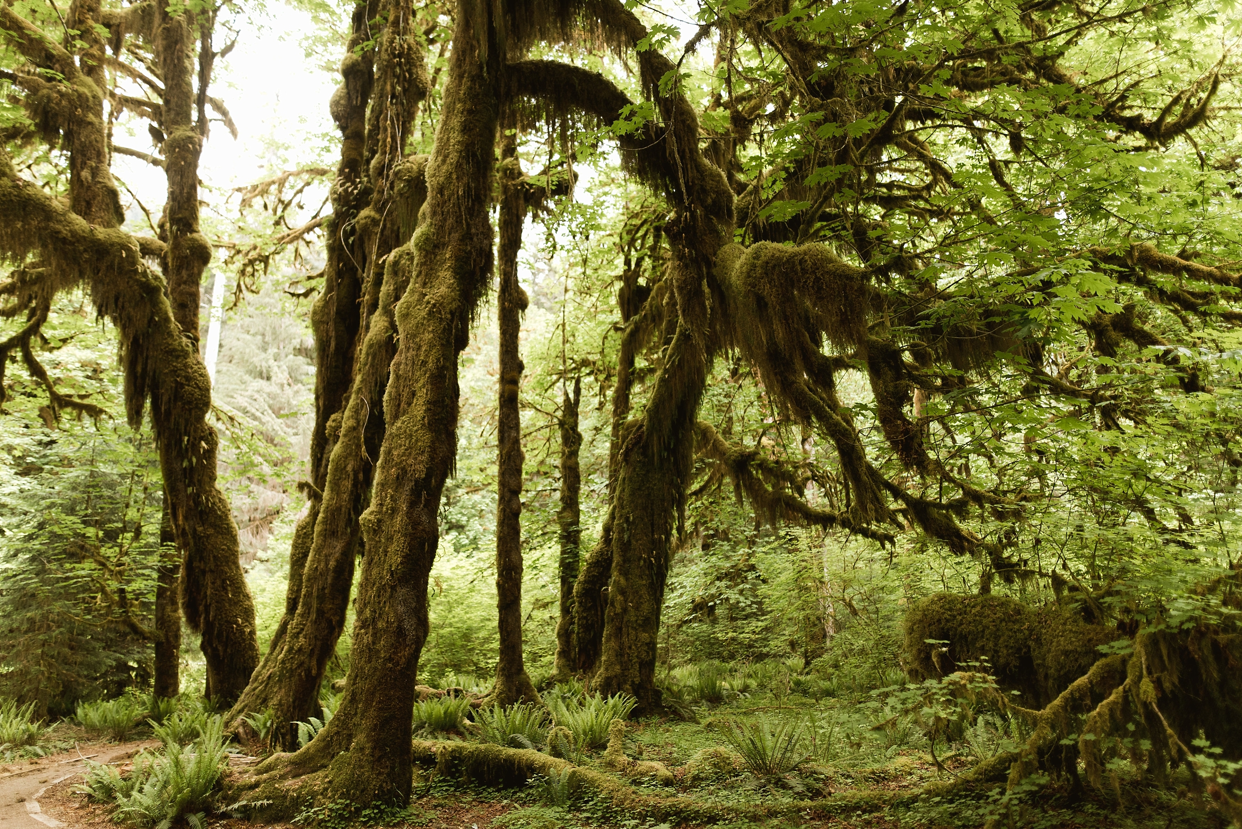 Oregon is home to miles upon miles of lush, amazing rain forests. In this picture captured by Adventure Instead, an elopement photographer, giant trees grow in a moss-covered, old-growth forest.