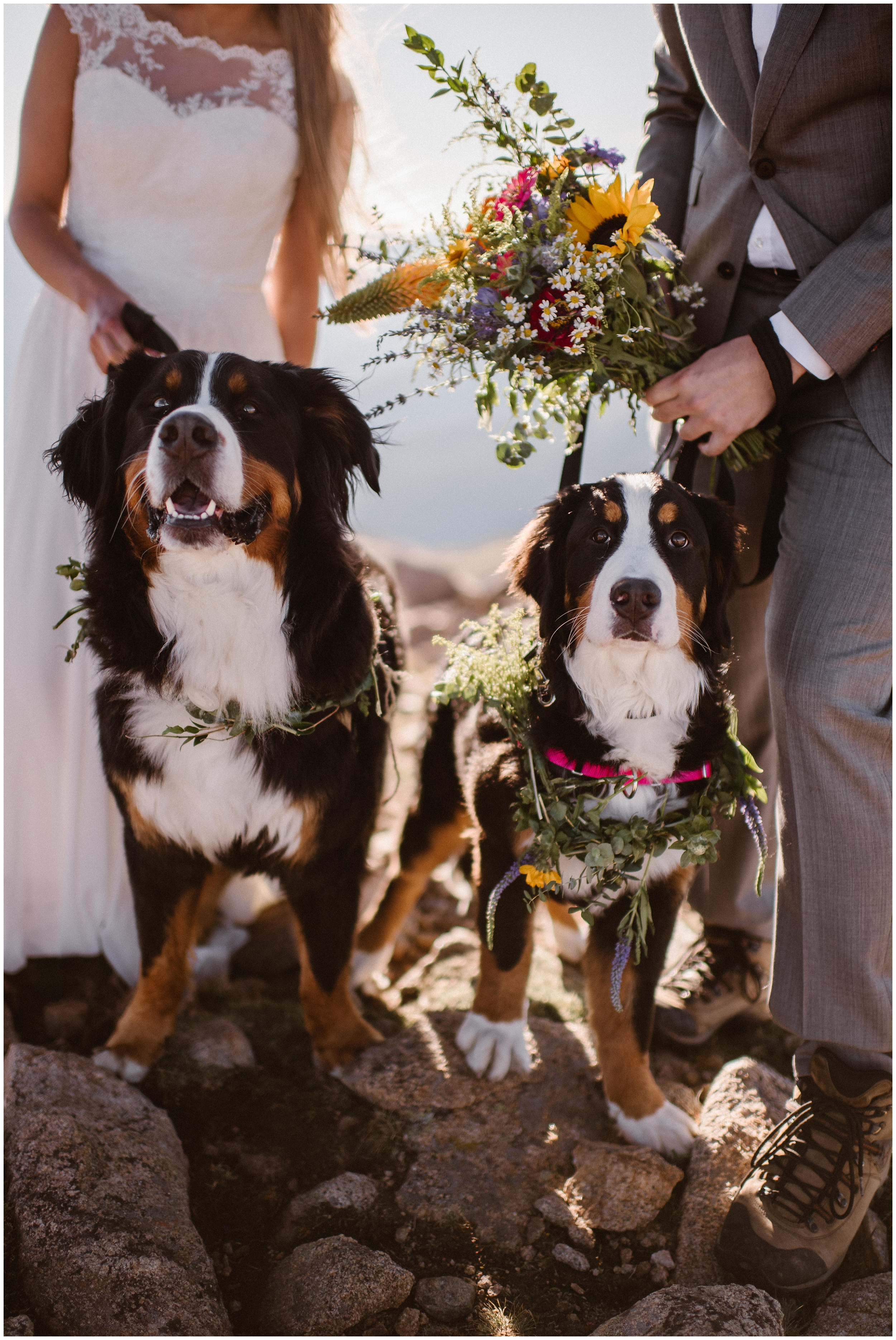 Two Bernese Mountain Dogs pose with their bride and groom owners. The dogs necks are adorned with brightly colors flowers and foliage collars.