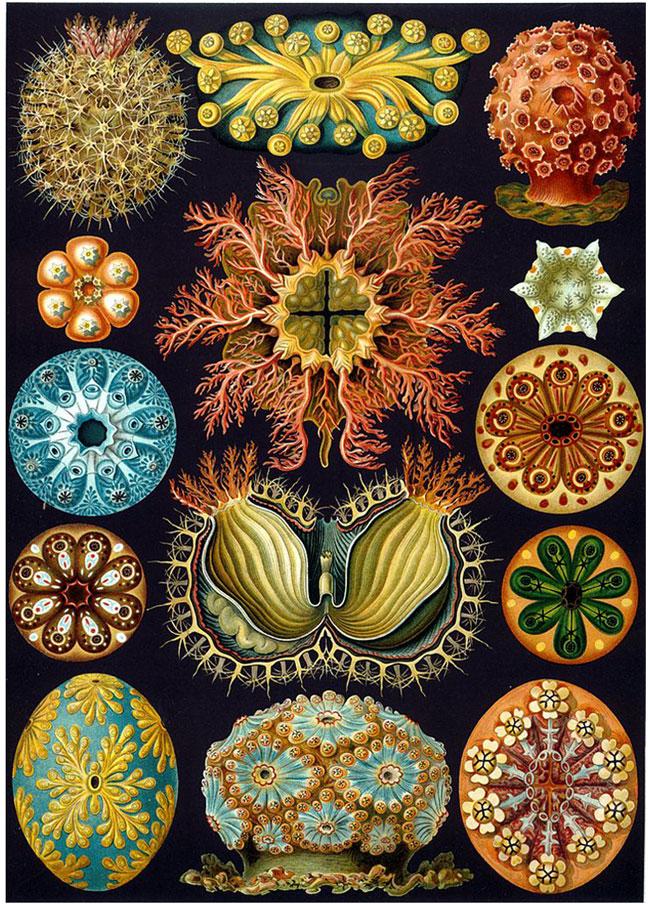 Haeckel_2.jpg