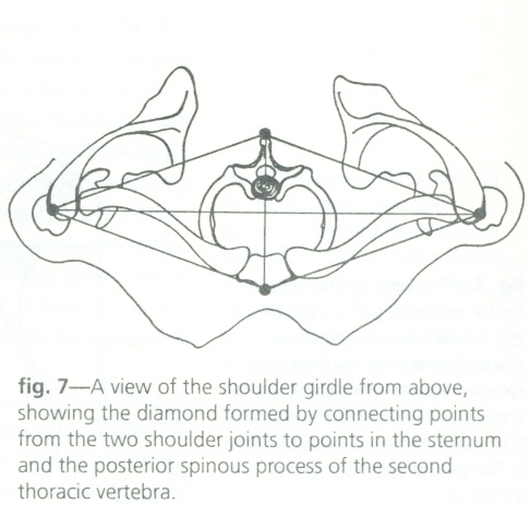 Aerial view of the  shoulders  (head and neck not included). The crosshairs of the diamond shape meet at the body's conceptual   core .  From  Taking Root to Fly