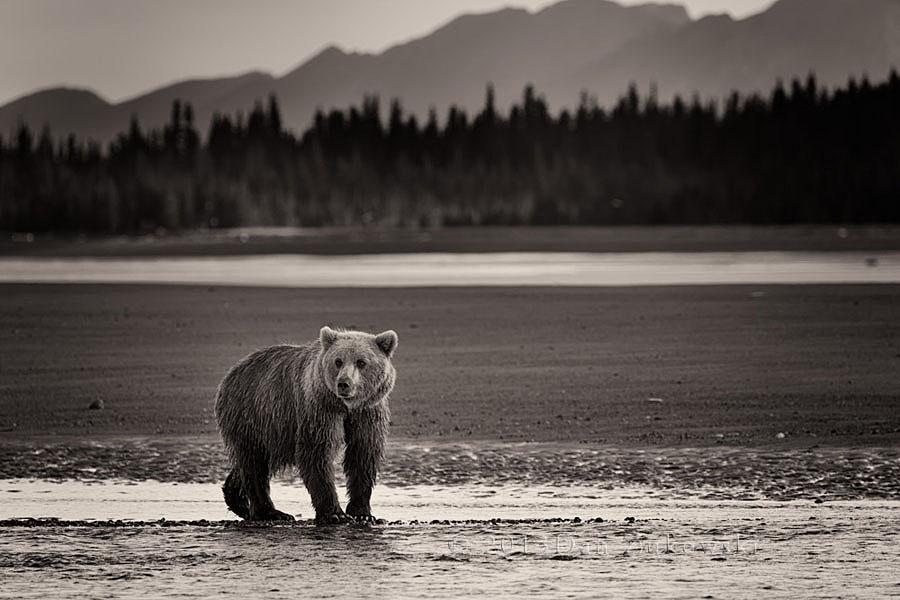 Bear on Tidal Flats