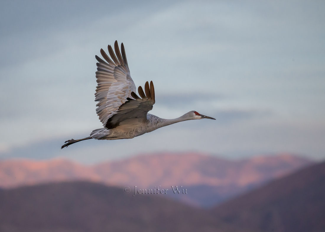 SANDHILL CRANE AT   BOSQUE DEL APACHE NATIONAL WILDLIFE REFUGE, SAN ANTONIO, NEW MEXICO.  F/6.3, 1/2500 SECOND, ISO 5000, EF200-400MM F/4L IS USM EXTAT 420 MM.  Canon EOS-1D X