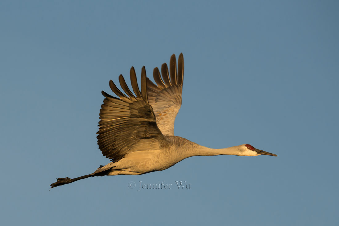 SANDHILL CRANE AT   BOSQUE DEL APACHE NATIONAL WILDLIFE REFUGE, SAN ANTONIO, NEW MEXICO.  F/9, 1/1000 SECOND, ISO 400, EF200-400MM F/4L IS USM EXTAT 560 MM.  Canon EOS-1D X