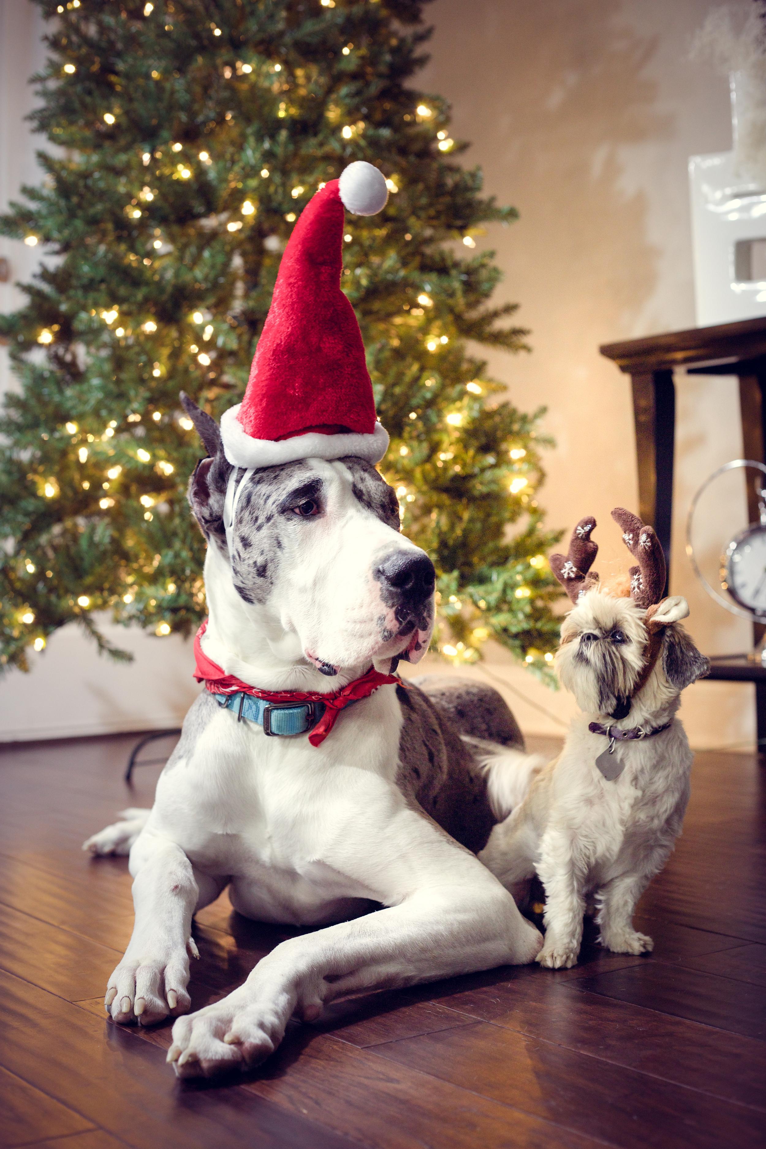 Holiday Pet Portrait