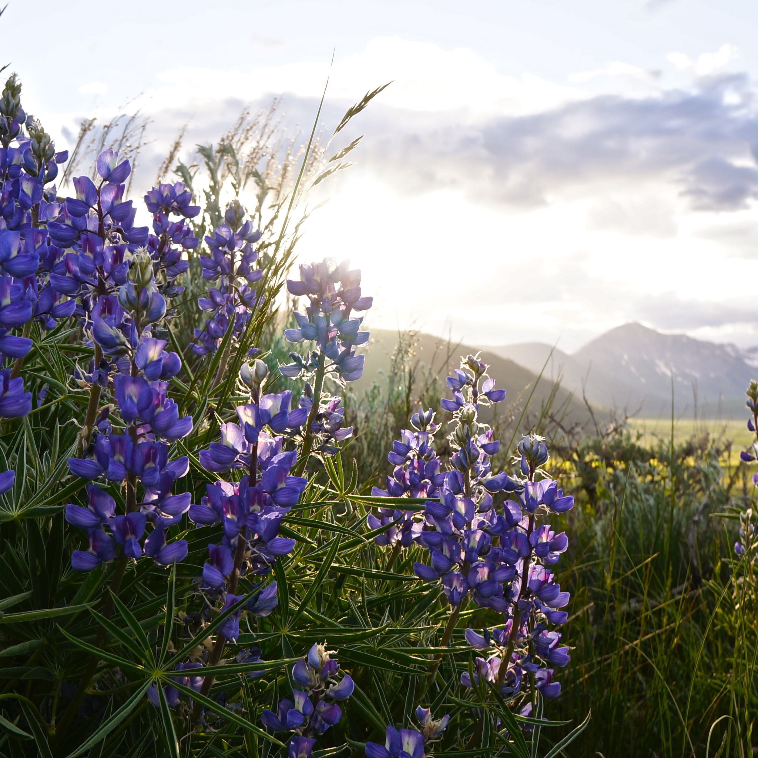 Wild Flowers in Crested Butte