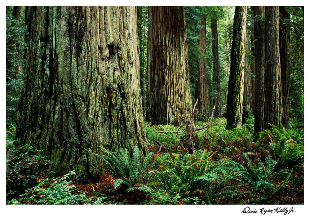 Redwoods with Mary Ann-3.jpg