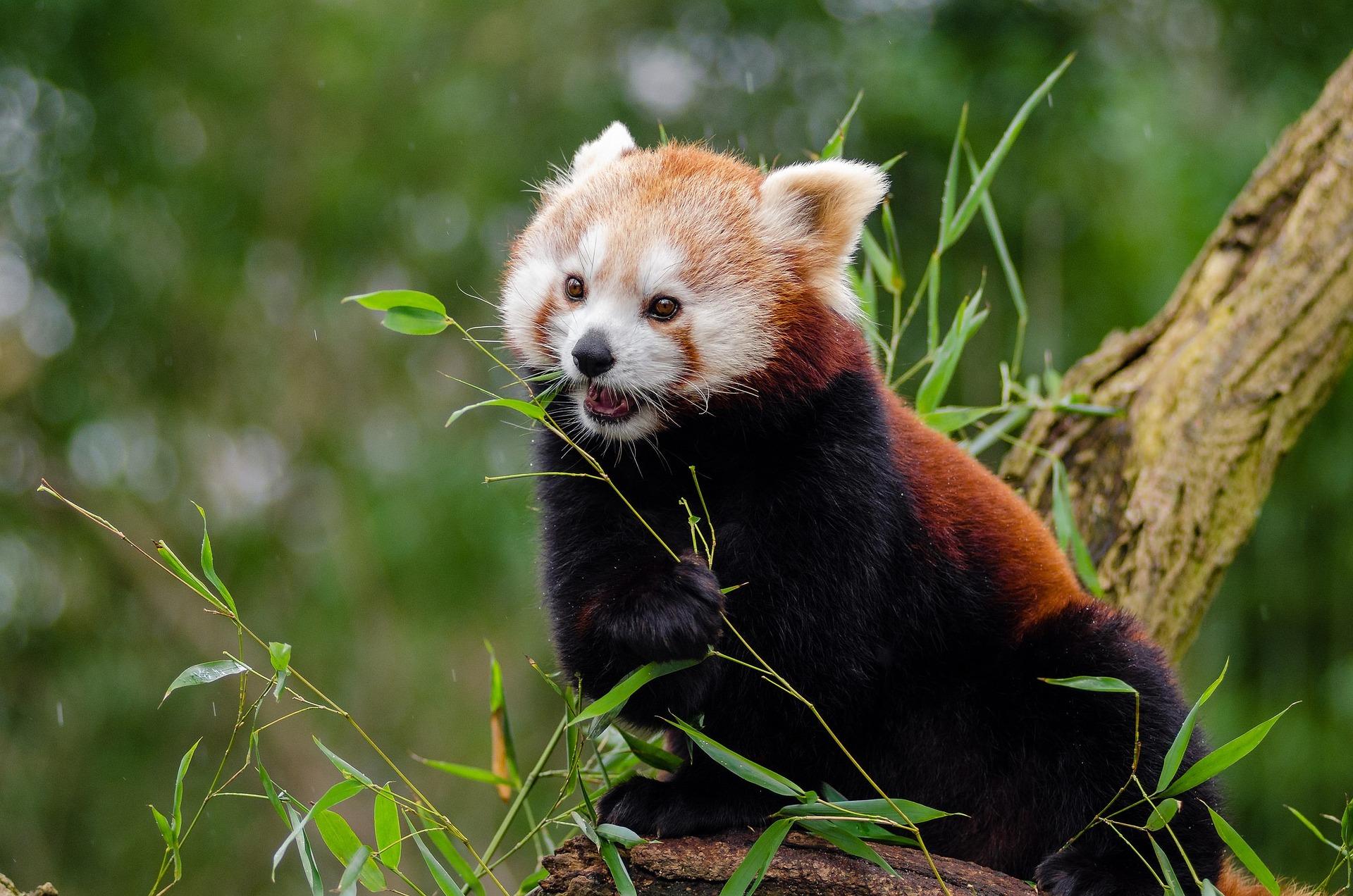 normal pace panda.jpg