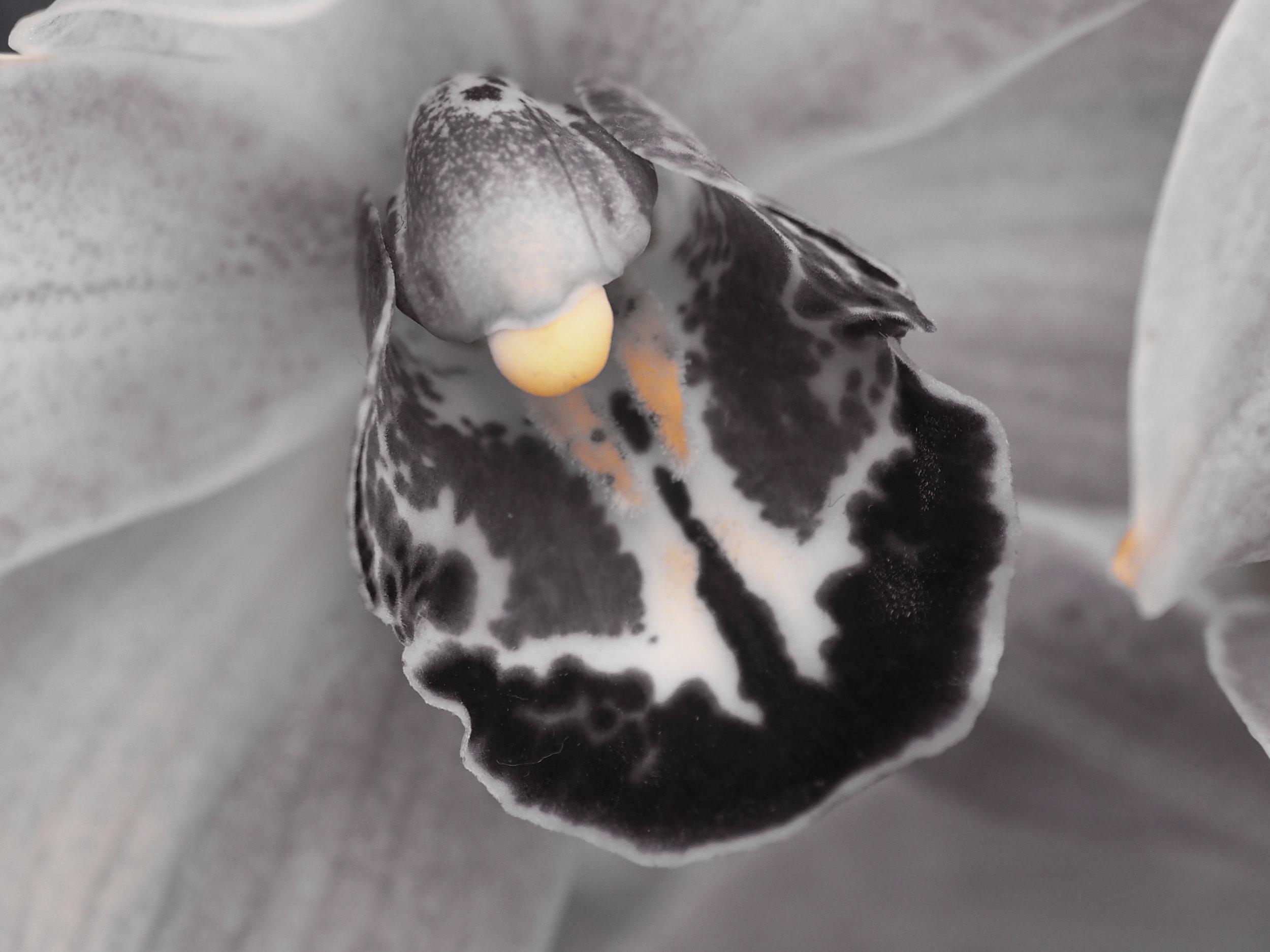 A Bronx Cheer - An Impolite Little Orchid
