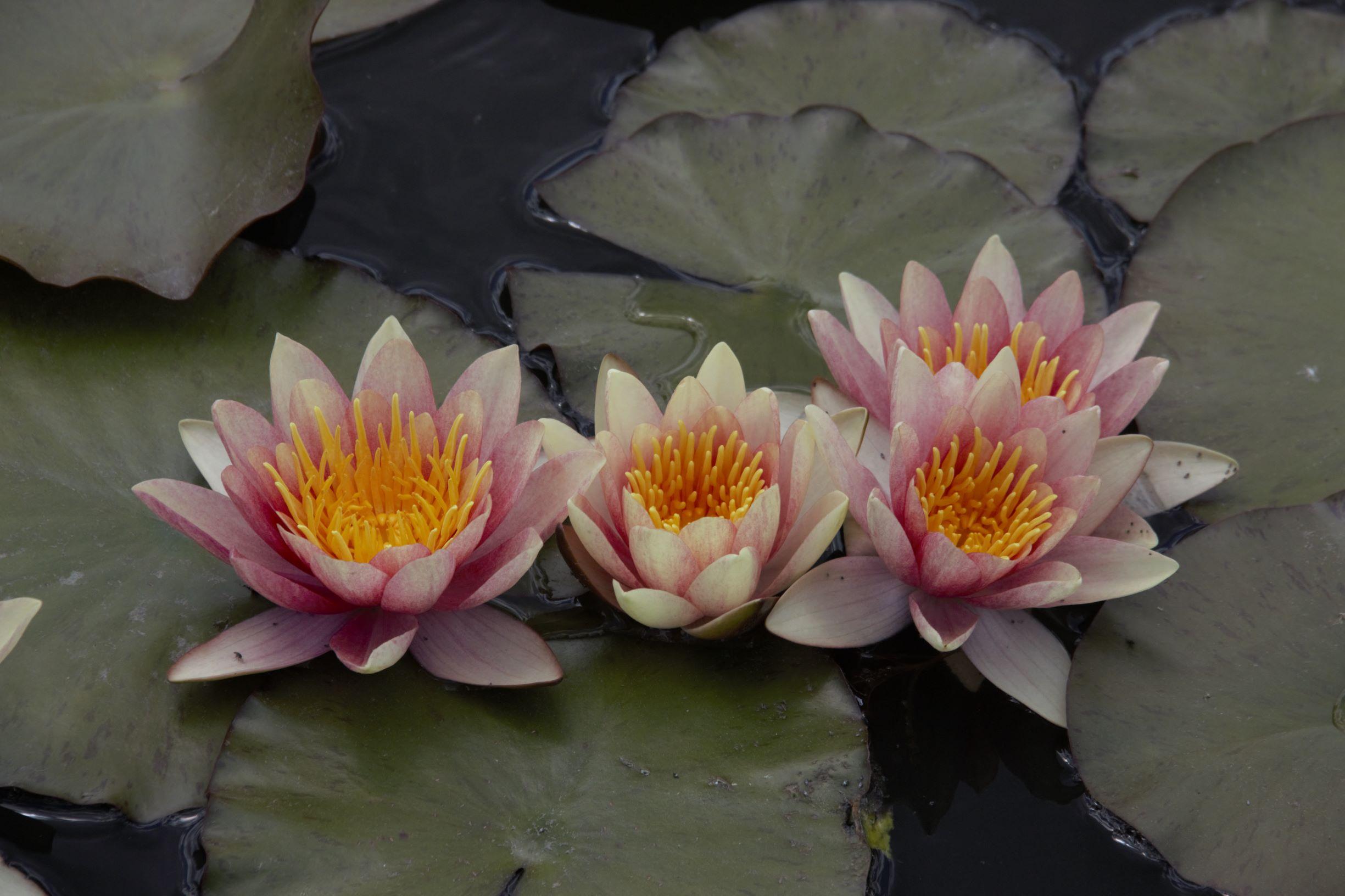 Lotus & Lily Pads -