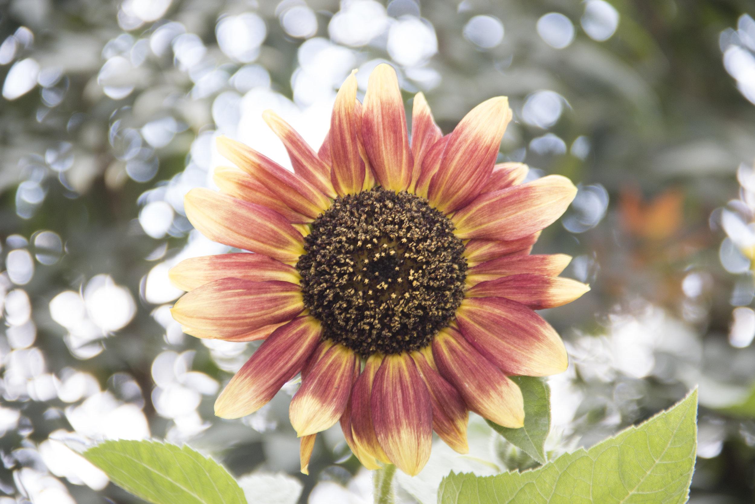 Frida's Sunflower - Frida Kahlo's Sunflower - A seedling grown from her garden at the New York Botanical Garden (NYBG) Circa 2k15