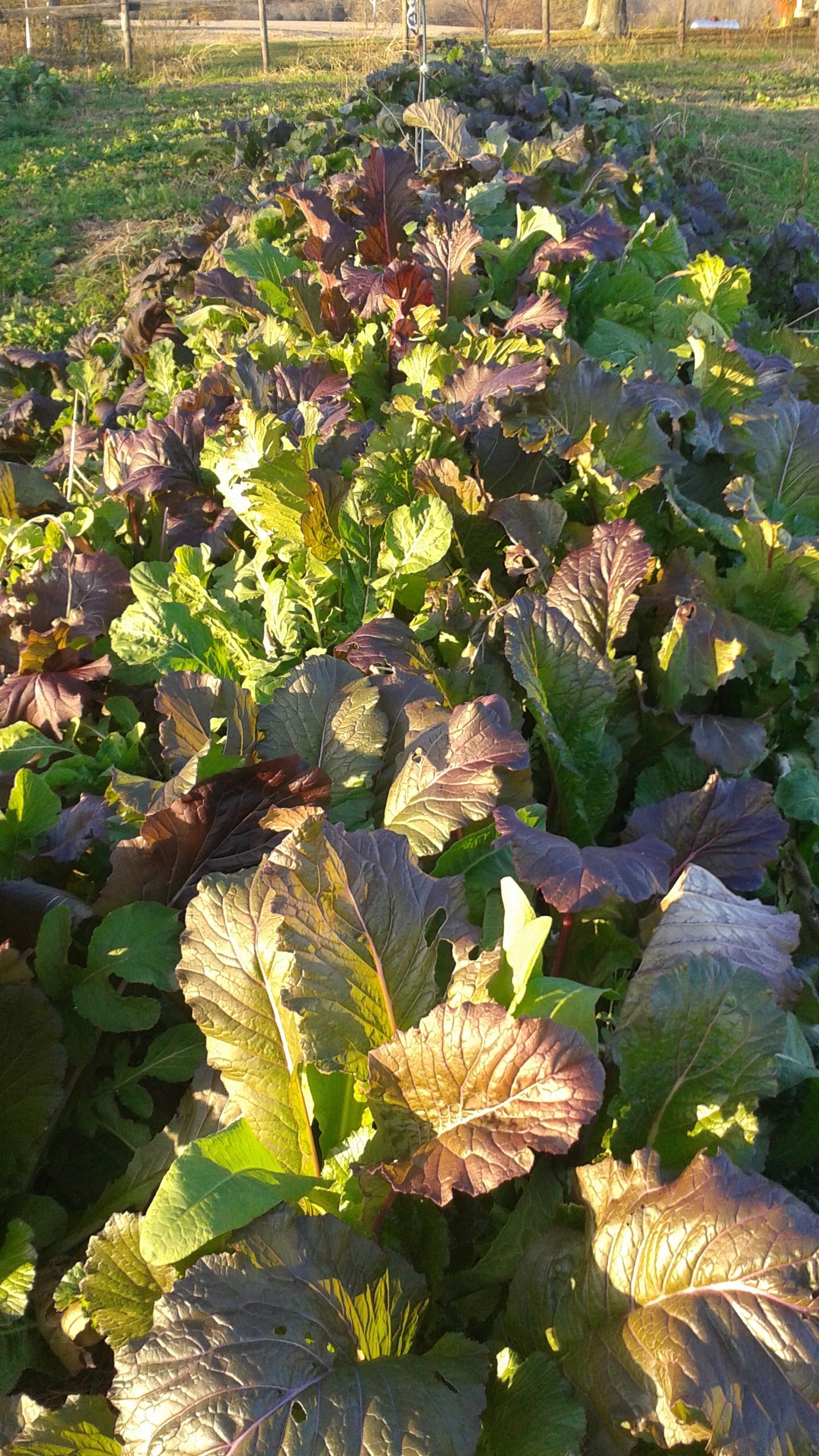 Garden greens in their first season in a client's garden.