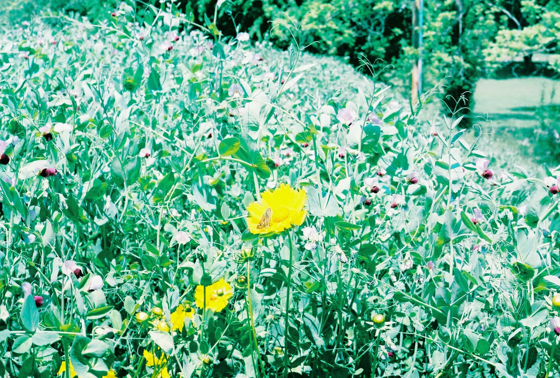 Corriopsis on the Berm.jpg