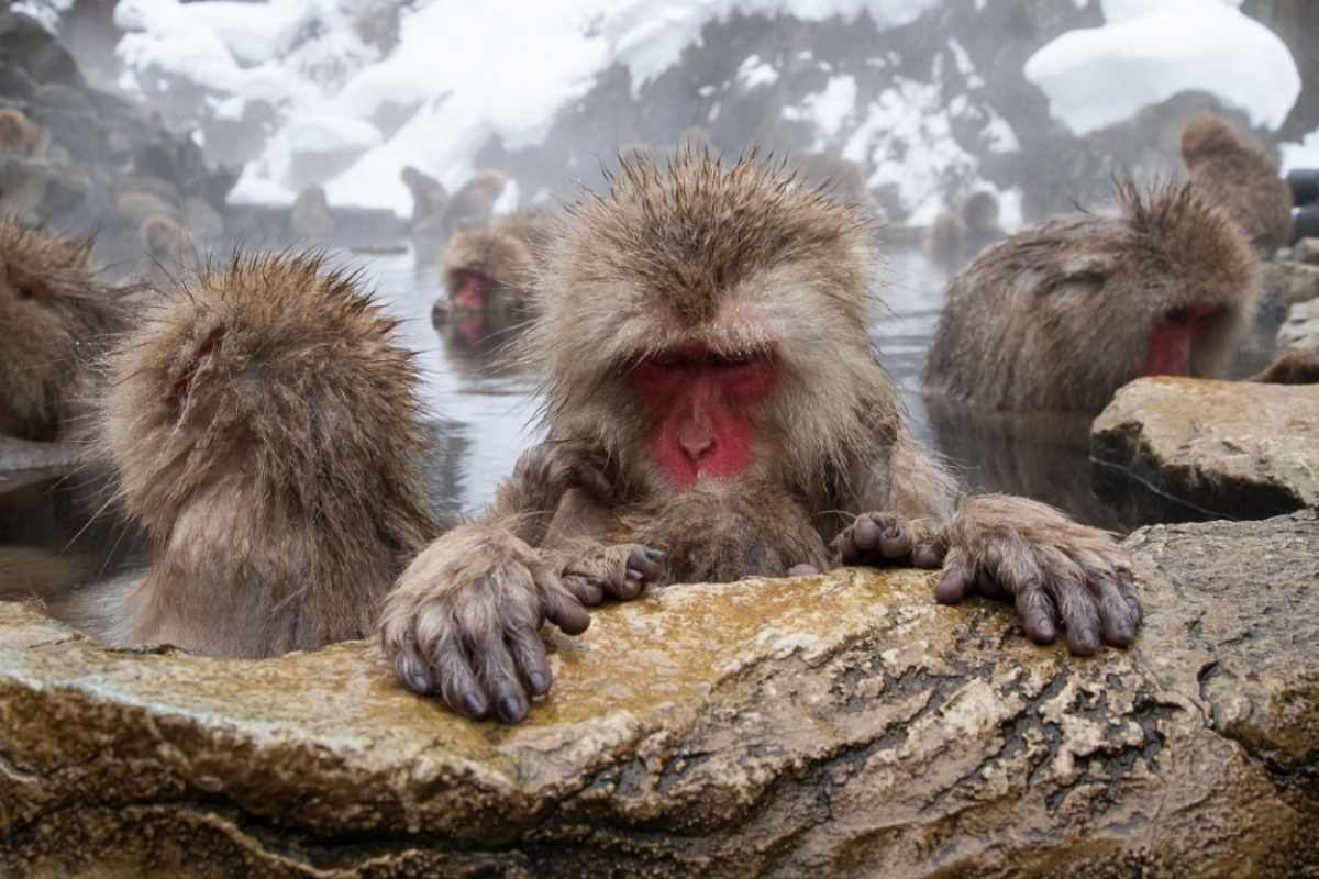 Clicking on this image will take you to the Japan-Snow Monkeys gallery.