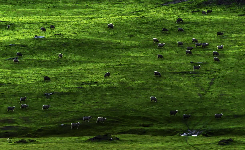 Wanaka Sheeps