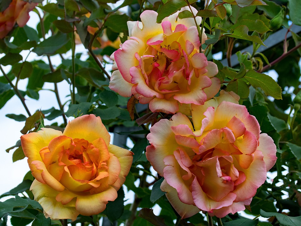 Climbing-Rose-Flowers-Yellow-Parure-Dor-Rose-2410680.jpg
