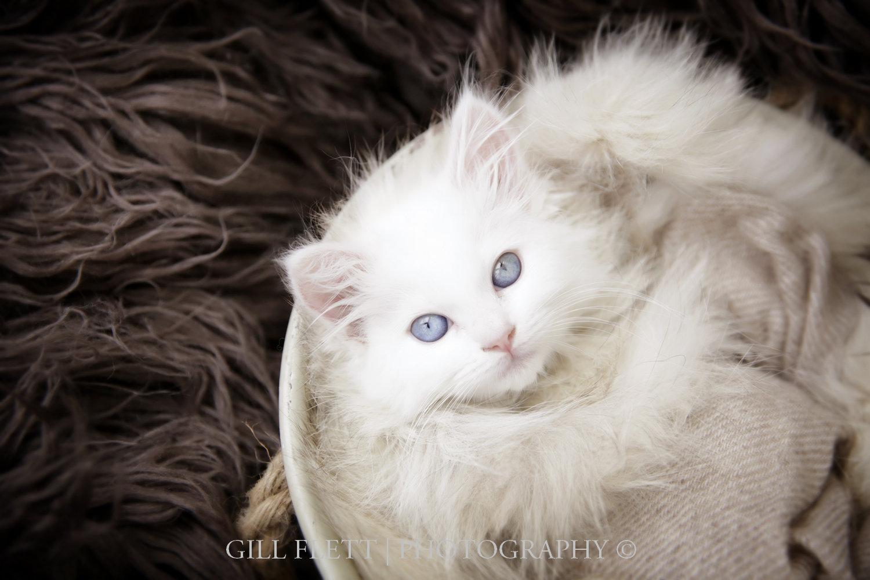 white-ragdoll-kitten-gillflett-photo
