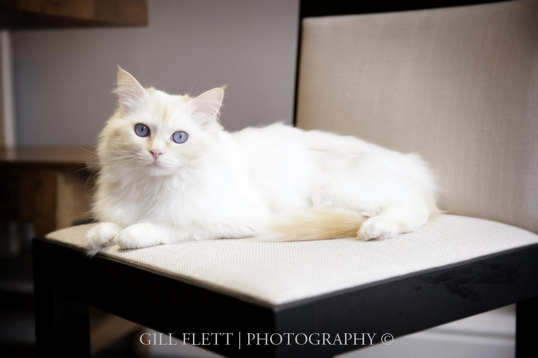 gill_flett_photo_ragdoll_kittens_img_0001.jpg