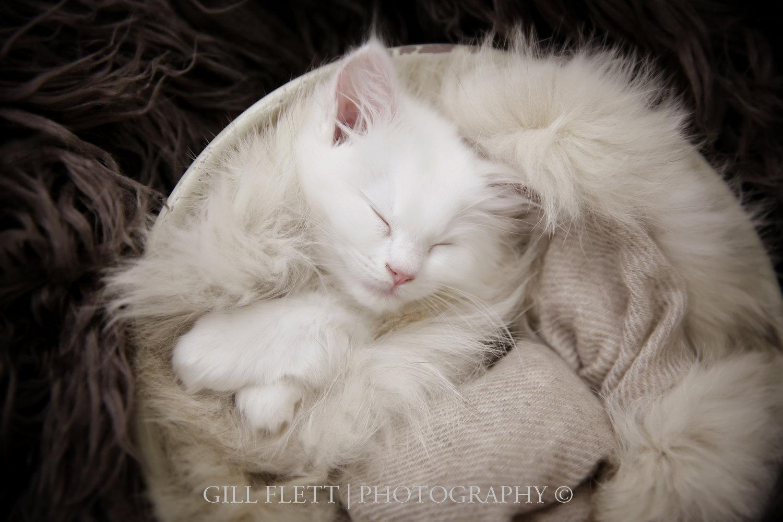 gill_flett_photo_ragdoll_kittens_img_0003.jpg