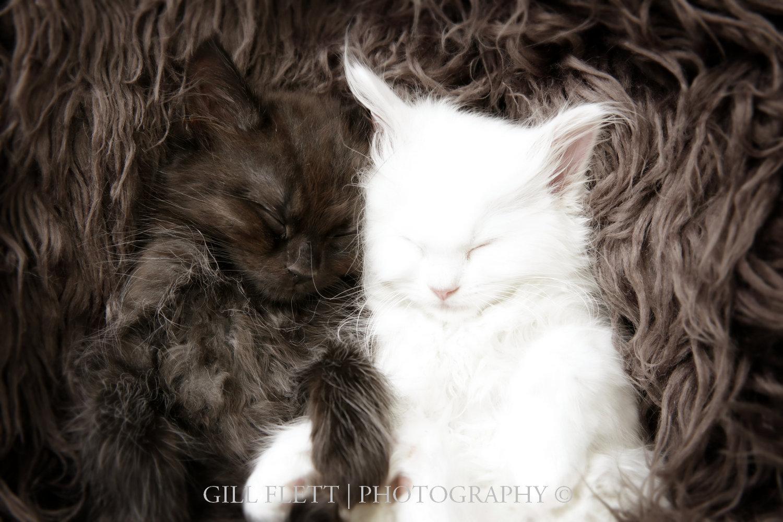 gill_flett_photo_ragdoll_kittens_img_0006.jpg