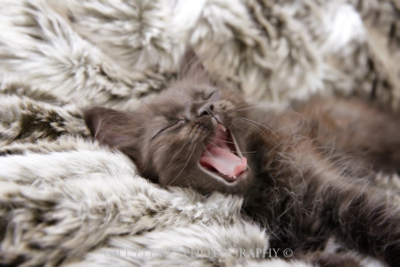 gill_flett_photo_ragdoll_kittens_img_0008.jpg
