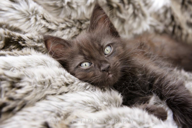 gill_flett_photo_ragdoll_kittens_img_0009.jpg